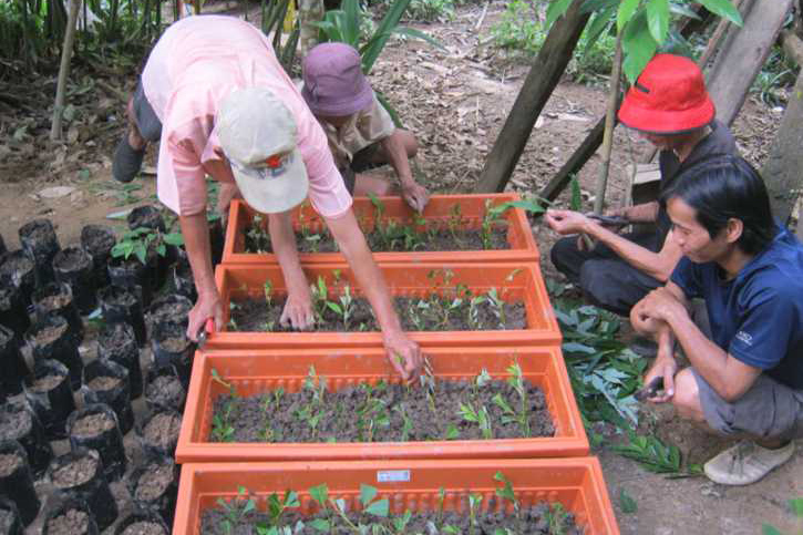 Litsea cubeba propagation at Kampung Kiding